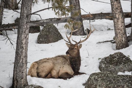 Elk, or Wapiti
