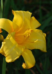 Gorgeous Flowering Yellow Daylily Blooming in a Garden
