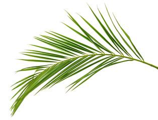Green palm branch