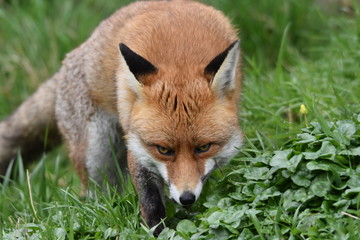 Wild Red Fox Southern England