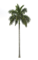 Royal palm isolated on white background
