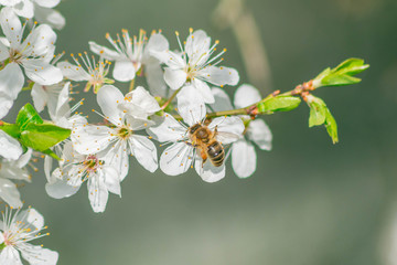 little bee on a white blossom
