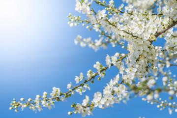 spring goes on - lovely little blossoms in sunlight