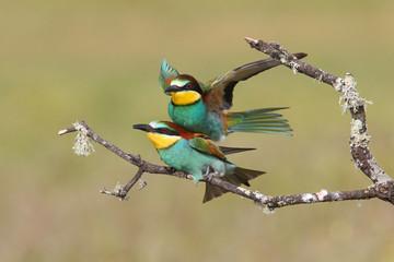 Bee eater, spring mating season