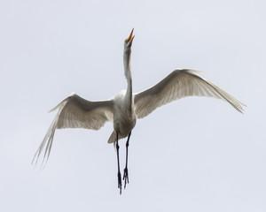 Flying Isolated White Egret