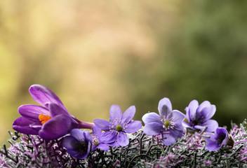 Leinwandbilder - Wiosenne fioletowe kwiaty