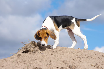 Playful puppy of the Estonian hound against the background of the blue sky