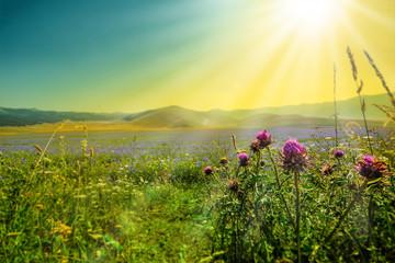 Foto op Plexiglas Zwavel geel Flowers on the Piana Grande, Castelluccio di Norcia, Umbria, Italy