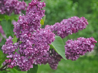 Spoed Foto op Canvas Lilac A brunch of lilacs on a spring day