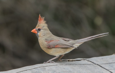 Cardinal Cutie - A female cardinal perches on a log in a robust stance position with her crest at its peak.