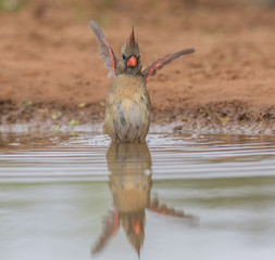 It Was Huge - A female cardinal describes her bathing experience - huge