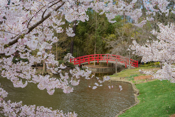 cherry blossoms frame an arched red bridge over the water at the japanese gardens of duke