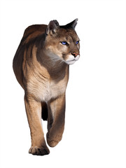 Photo sur Aluminium Puma Puma walking at camera isolated at the white