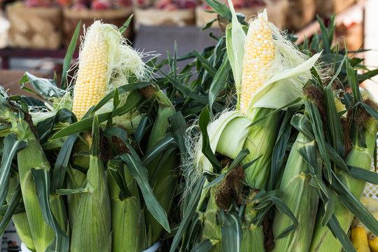 Sweet Corn In Husk at Farmers Market