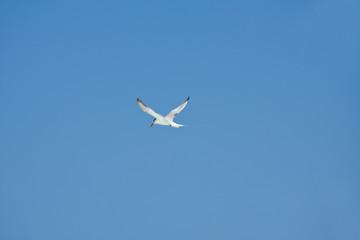 Flying Sragull