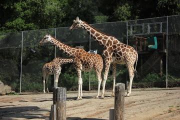 Giraffes in an enclosure