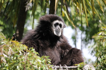 White handed (Lar) Gibbon sitting in a tree