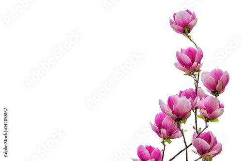 Magnolia Flower Blossom Isolated On White Background Stock Photo