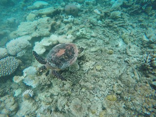 Turtle swimming over maldivian coral reef, Ari Atoll