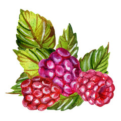 Raspberries watercolor painting isolated on white background