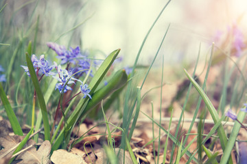 Beautiful spring flowers nature background. Wild growing blue snowdrop, Scilla bifolia, blue early spring flower. Coloring photo with soft focus. Copy space.