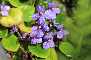 """""""African Violet"""" flower with raindrops in St. Gallen, Switzerland. Its scientific name is Saintpaulia Ionantha, native to Tanzania and Kenya."""