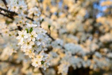 Blüten am Ast vom Kirschbaum