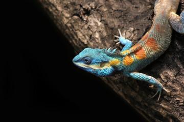 blue lizard chameleon