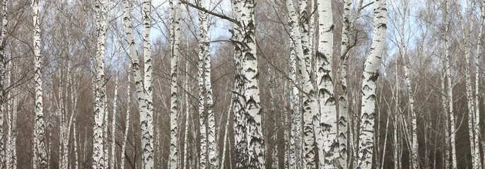 trunks of birch trees with white bark