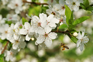 Spring, Honeybee (Apis mellifera) in flight at flourishing fruit tree