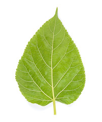 Mulberry leaf isolated on the white background
