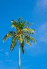 Coconut tree over blue sky .