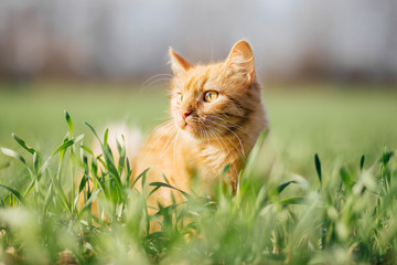 Cat in the Green Grass. Fluffy Red Cat with Yellow Eyes