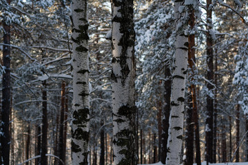 Birch forest on a sunny winter morning