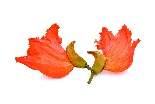 orange flower(Spathodea) isolated on white background