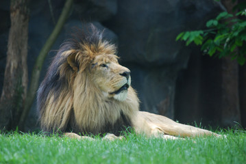 Relaxing Lion with a Thick Black Fur Mane