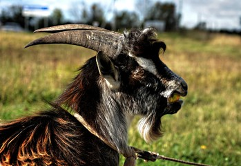 goat mottled with black spots and large sharp horns eating an Apple in the pasture
