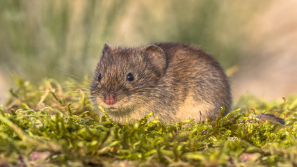 Bank vole in natural habitat