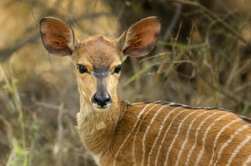 Young kudu in low veld of South Africa