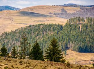 pine forest in springtime landscape