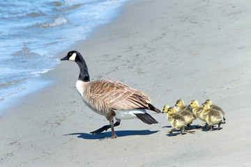 Mother Canada Goose leading goslings towards the water on a beach away from danger.
