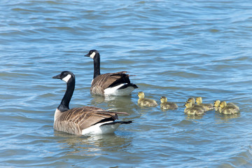 Mother and Father Canada Geese leading goslings into the water away from danger.