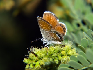 Western Pygmy-Blue Butterfly in Arizona