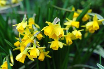 Daffodils 'Tete a Tete'