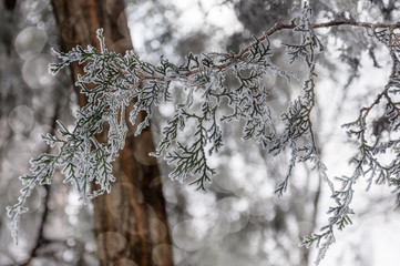 A bit of sparke in the forest -Close up of a tree branch covered hoarfrost over a bokeh background.