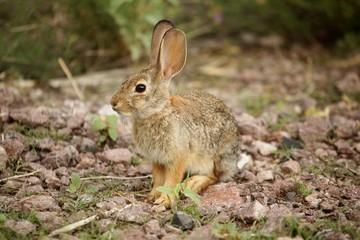 Fotoväggar - Desert Cottontail Rabbit (Sylvilagus audubonii)