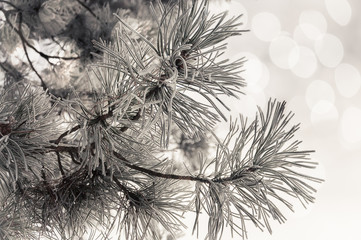 Close up of frosted pine neddles and branches against sky blurred background.