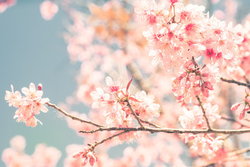 Cherry Blossom trees in spring, The wild himalayan cherry