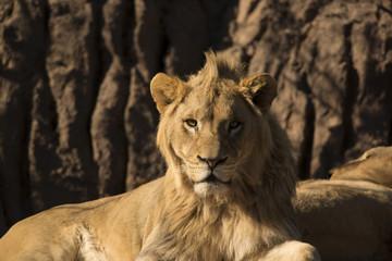 Young African lion closeup portrait