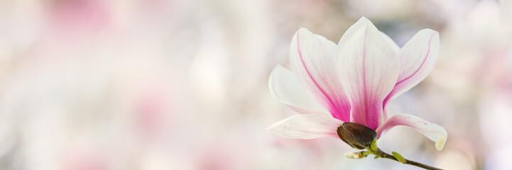 Magnolia tree flowers blossom